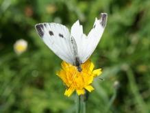 Großer Kohlweißling auf gelber Blüte