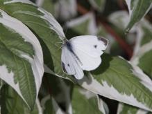 Kohlweißling auf grün-weißen Blättern