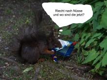 Eichhörnchen sucht Nüsse im Eispapier