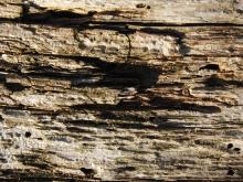 Morscher-Holzstamm 3