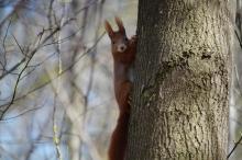 Eichhörnchen am Baumstamm