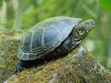 Sepp die Rotwangen-Schmuckschildkröte