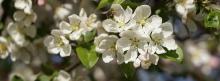 Apfelblüte mit Biene 851x315