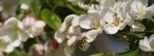 Bieneflug zur Apfelblüte 851x315