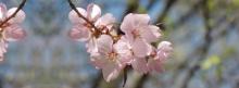 Kirschblüten-rosa 851x315