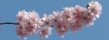 Kirschblütnpower 851x315