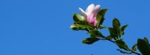 Magnolie-im-Mai 851x315
