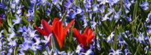 Tulpen im Blausternbeet 851x315