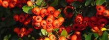 Rote Herbstbeeren 851x315