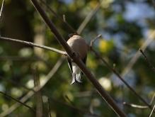 Buchfink auf Zweig