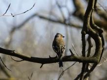 Stolzer Buchfink auf Astarm