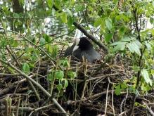 Blässhuhn im Nest 1