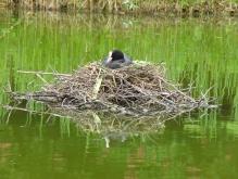 Blässhuhn im Nest 2