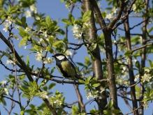 Kohlmeise im blühenden Obstbaum