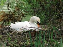 Schwan im Nest beim Brüten 1