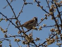 Spatz in Frühlingsbusch 2