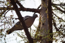 Taube auf Lerchenast