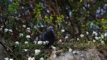 Graue Taube im Frühling