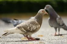 Schöne Taube
