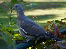 Taube im Park