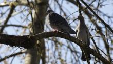 Taubenpaar auf Ast im Frühling