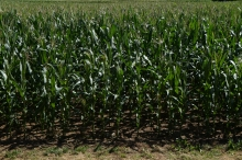 Blick aufs Maisfeld