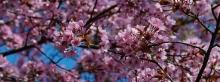 Kirschblütenpower Wallpaper 3840x1440