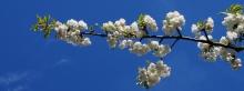 Weiße Kirschblüten Wallpaper